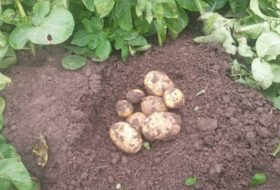 UPDATE: groei aardappelen