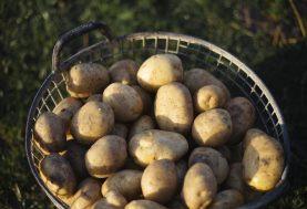 Wachten met aardappelen rooien