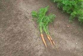 UPDATE: groei wortelen