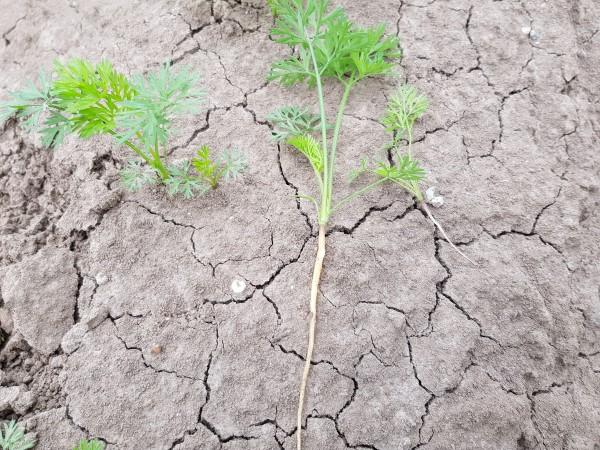 Eerste oogstdag uitgesteld wegens droogte